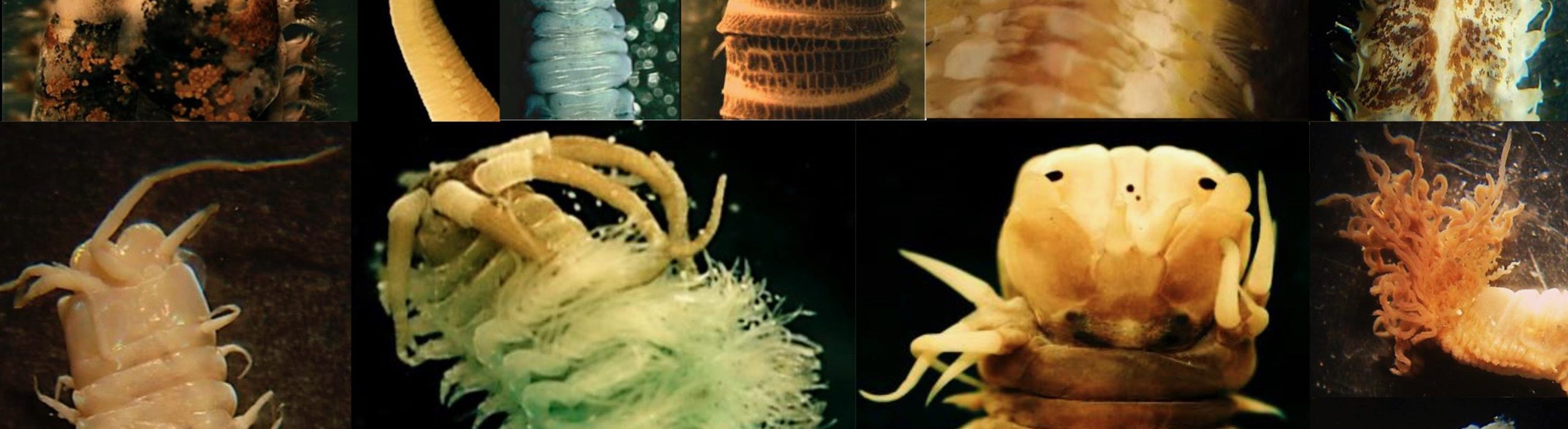 Ponen a disposición los primeros registros actualizados de gusanos marinos de Rapa Nui y Juan Fernández